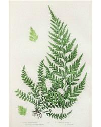 Antique Chromolithograph Botanical Print Spleenwort Fern