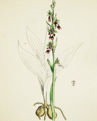 Antique Botanical Hand Colored Engraved Print Fly Orchis