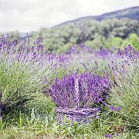 Luxury French Lavender and Rosemary Botanical Potpourri