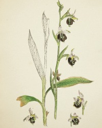 Antique Botanical Hand Colored Engraved Print Late Spider Orchis