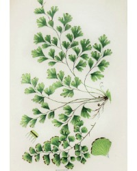 Antique Chromolithograph Botanical Print Maidenhair