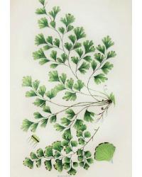 Antique Chromolithograph Botanical Print Maidenhair