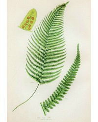 Antique Chromolithograph Botanical Print Male Fern