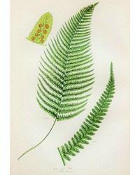 Antique Chromolithograph Botanical Print Male Fern
