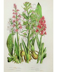 Antique Botanical Chromolithograph Print Spotted Orchid