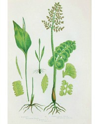 Antique Chromolithograph Botanical Print Moonwort Fern