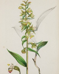 Antique Botanical Hand Colored Engraved Print Narrow Leaf Helleborine