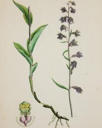 Antique Botanical Hand Colored Engraved Print Oval Leaf Helleborine