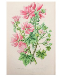 Antique Botanical Chromolithograph Print Pink Mallow