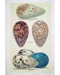 Antique Lithograph Guillemot Eggs Print