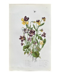 Antique Botanical Chromolithograph Heartsease