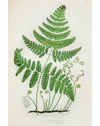 Antique Chromolithograph Botanical Print Three Branched Fern