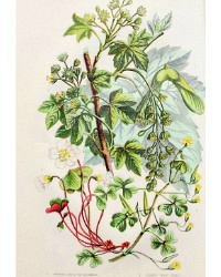 Antique Botanical Chromolithograph Print  Wood Sorrel